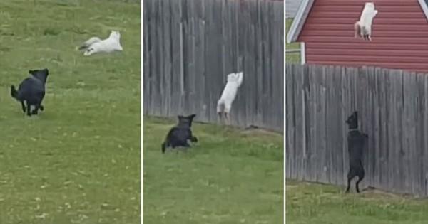 Όταν δείτε το Άλμα που έκανε αυτή η Γάτα για να γλυτώσει από δύο Σκύλους, θα σας Πέσει το Σαγόνι! (Βίντεο)
