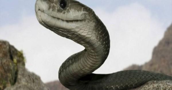 Τρόμος στην…κουζίνα: Φίδι επιτίθεται στον σεφ που ετοιμάζεται να το μαγειρέψει! (vid)