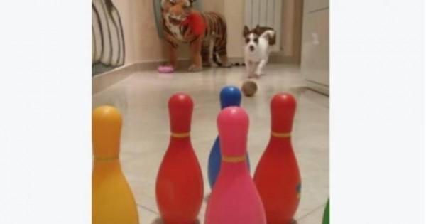 Ποιος είπε ότι τα σκυλιά δεν ξέρουν μπόουλινγκ; (βίντεο)