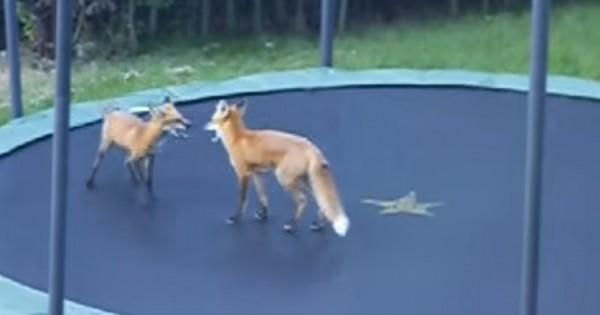 Δύο αξιολάτρευτες αλεπούδες ανακαλύπτουν πώς να χρησιμοποιούν ένα τραμπολίνο. (Βίντεο)