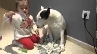Ένα Μπουλ Τερριέ γίνεται ασθενής για χάρη ενός μικρού κοριτσιού! (Βίντεο)