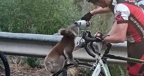 Ένα διψασμένο κοάλα ζήτησε νερό από ποδηλάτες και δεν ντράπηκε στιγμή. (Εικόνες)