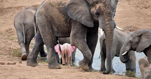Κι όμως υπάρχει και ελέφαντας που είναι ροζ (Εικόνες)