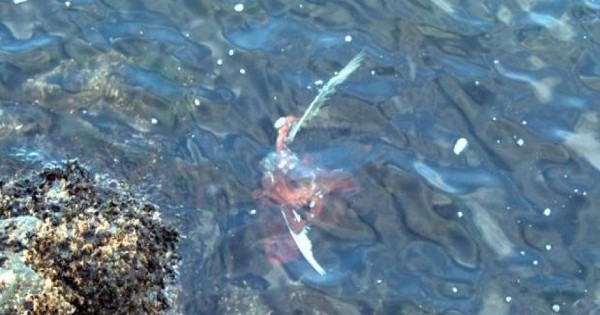 Η φύση δεν σταματά να μας εκπλήσσει ποτέ: Ένα χταπόδι να κατασπαράζει έναν γλάρο! (vid)
