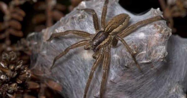 Το νέο είδος Αυστραλιανής αράχνης που ανακαλύφθηκε θα σας προκαλέσει τρόμο! (Εικόνες)