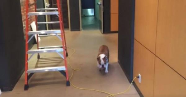 Το μπουλντόγκ που φοβάται τις… σκάλες και τα καλώδια! (βίντεο)
