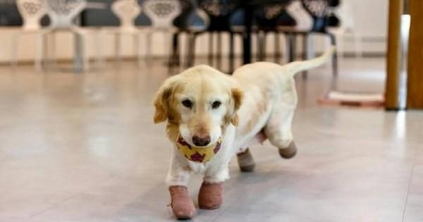 Το σκυλί που έχασε από κακοποίηση τα άκρα του αλλά όχι τη θέληση για ζωή [φωτό]