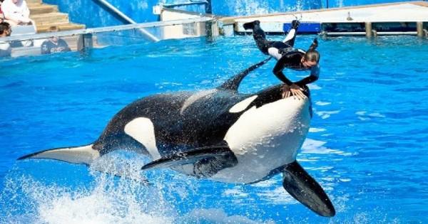 Το SeaWorld σταματά το πρόγραμμα αναπαραγωγής φαλαινών όρκα σε αιχμαλωσία
