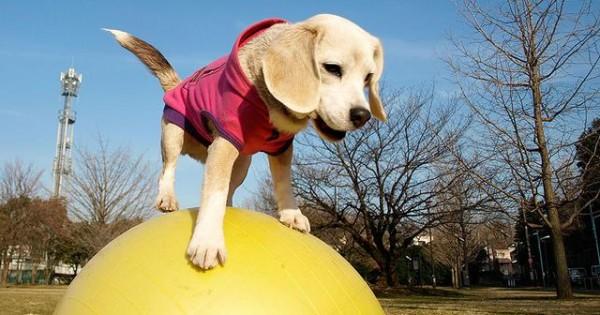 Γνωρίστε τον Purin! Το super beagle! [video]
