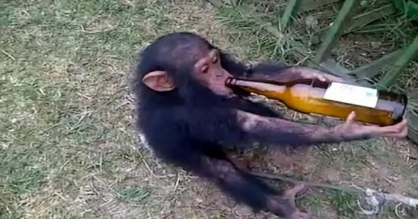 Απάνθρωπο: Δίνουν μπύρα και μεθούν νεογέννητο πιθηκάκι! (βίντεο)