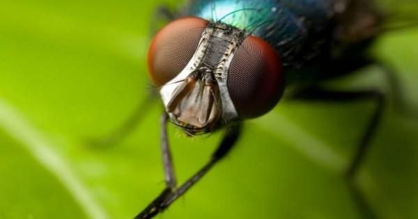 Πώς να απαλλαγείτε από τις μύγες με σπιτικά υλικά