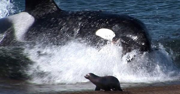 Φάλαινα δολοφόνος βγαίνει κυριολεκτικά στην άμμο για να αρπάξει το θήραμά της (vid)
