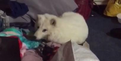 Το γέλιο της αλεπούς (Βίντεο)