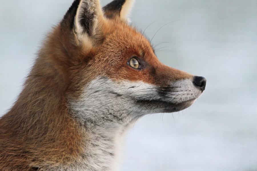 Αλεπούδες
