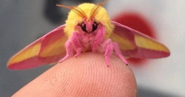 Αυτό το περίεργο έντομο μάλλον είναι το ωραιότερο στον κόσμο! Ετοιμαστείτε να ερωτευτείτε! (Εικόνες)
