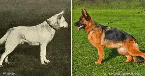 Πως άλλαξαν 12 ράτσες σκύλων μέσα στα τελευταία 100 χρόνια εκτροφής τους.