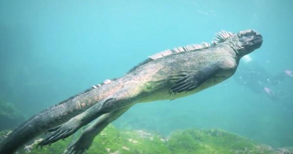 Δύτες κολυμπούν με ένα μοναδικό θαλάσσιο ιγκουάνα δίπλα στα νησιά Γκαλαπάγκος. (Βίντεο)