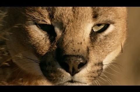 Βίντεο: Δείτε σε σούπερ αργή κίνηση γιατί οι γάτες πέφτουν πάντα με τα πόδια
