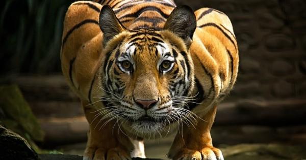 20 φωτογραφίες που αποδεικνύουν το μεγαλείο της τίγρης.