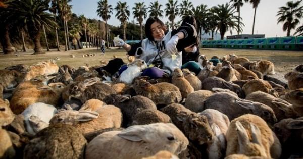 Δείτε εικόνες από τον «παράδεισο με τα κουνέλια» στην Ιαπωνία!