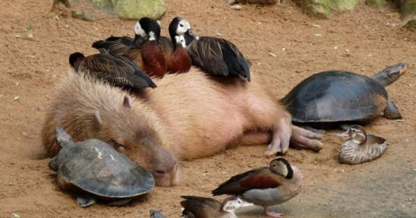 Αυτό το άγνωστο ζώο είναι το πιο αγαπητό μεταξύ ζώων και όλα θέλουν να κάνουν παρέα μαζί του! (Φωτογραφίες)