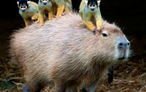 20 φωτογραφίες που δείχνουν πόσο πολύ αγαπουν τα ζώα το Καπιμπάρα