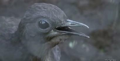 Το πουλί λύρα μιμείται τους ήχους μιας οικοδομής (Βίντεο)