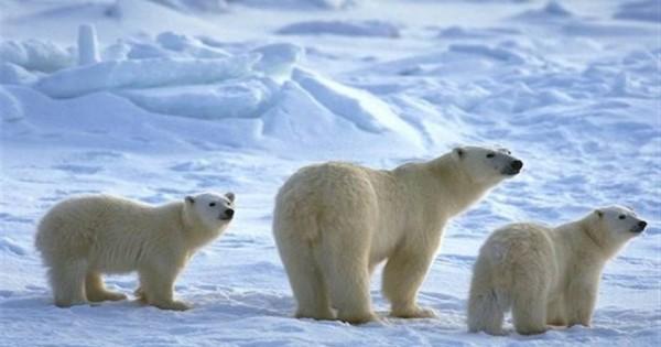 Τί κάνει μια πολική αρκούδα για να … σπάσει τη ρουτίνα της [βίντεο]