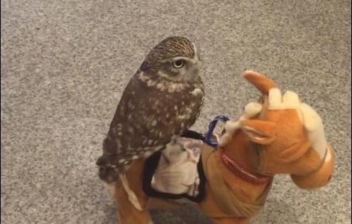 Το πιο τέλειο ζώο που θα δείτε σήμερα στο ίντερνετ είναι αυτή η κουκουβάγια – σερίφης