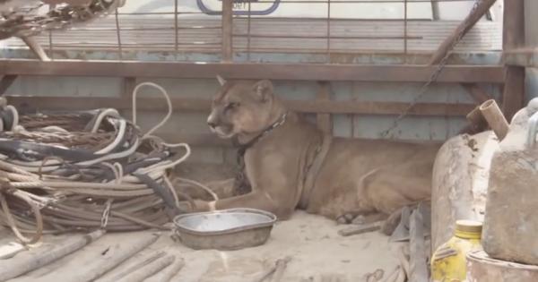 Ξεχασμένο λιοντάρι τσίρκου ζούσε 20 χρόνια σε ένα παλιό φορτηγό. Δείτε την αντίδρασή του, όταν τον απελευθερώνουν!