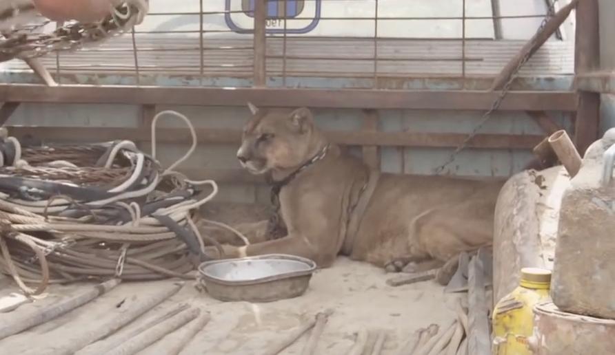 τσίρκο λιοντάρι Απελευθέρωση