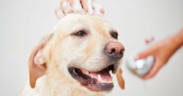 Φτιάξτε μόνοι σας σαμπουάν σκύλων για υγρό και στεγνό καθάρισμα!