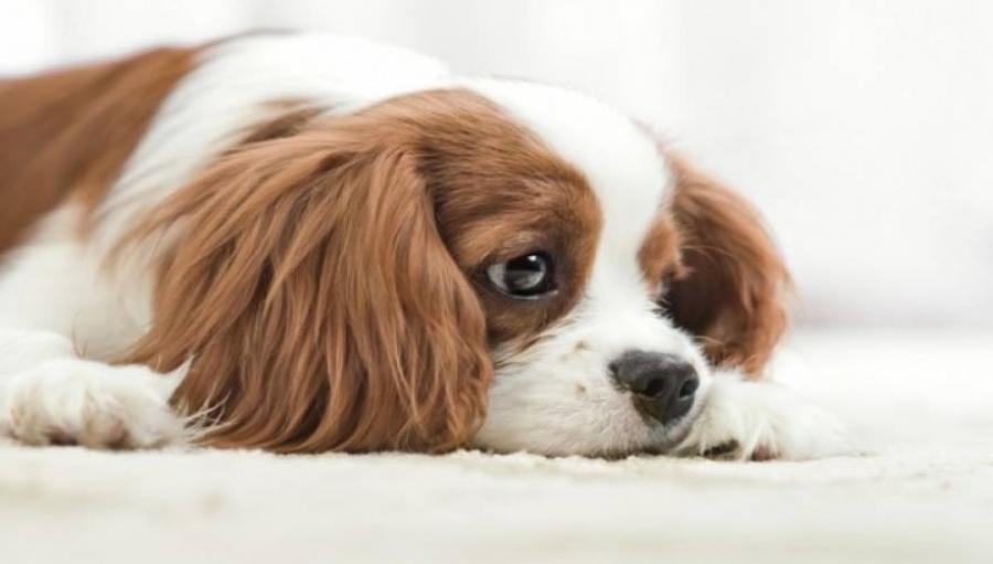 τσίχλες σκύλος και τσίχλες Σκύλος