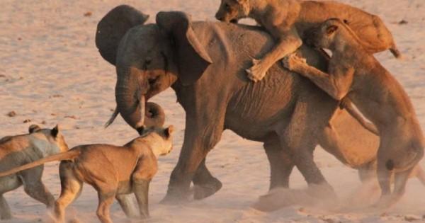 Επική μάχη με απρόσμενο νικητή: Μικρός ελέφαντας κατάφερε και νίκησε 14 λιοντάρια! (Βίντεο)