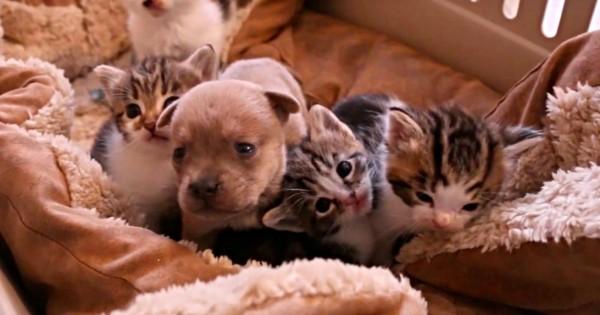 Βίντεο: Ένα ορφανό κουτάβι 2 ημερών βρήκε καινούργια οικογένεια με μαμά και αδέλφια γάτες