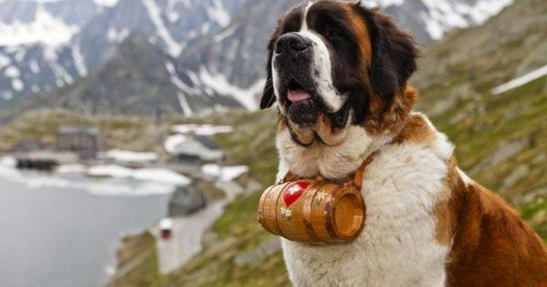 Barry, το σκυλί ήρωας που έσωσε δεκάδες ανθρώπους στις χιονισμένες Άλπεις [photos]