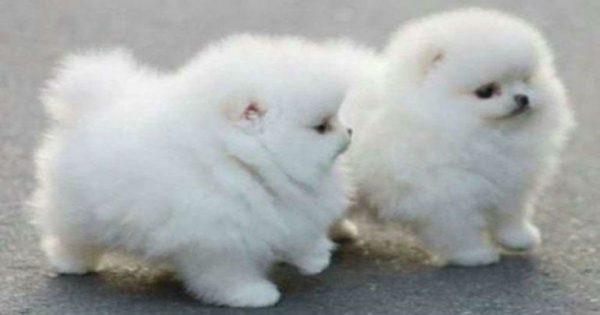 Αξιολάτρευτα σκυλάκια με ολόλευκο τρίχωμα που θα σας πάρουν το μυαλό!!