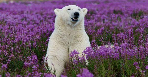 Πολική αρκούδα βρέθηκε σε ανθισμένο λιβάδι στον Καναδά και… μπερδεύτηκε