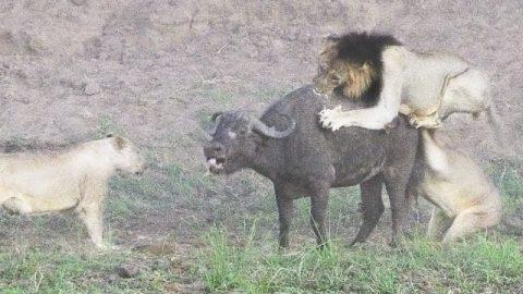Επίθεση λιονταριών σε βούβαλο με απρόσμενο τέλος