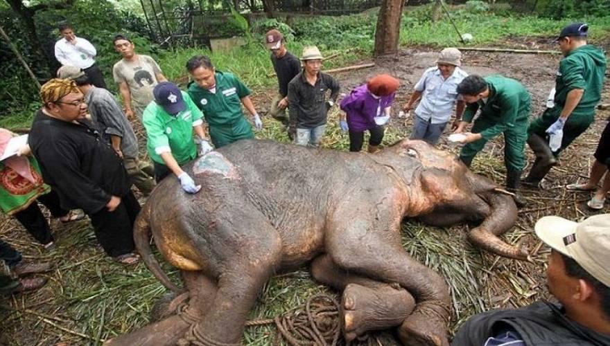 ετοιμοθάνατος ελέφαντας ελέφαντας