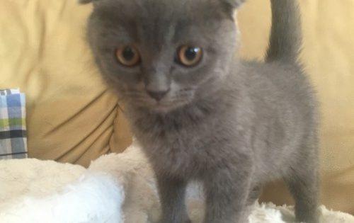 Χάθηκε ο ο Scotty, ένα σπάνιο γατάκι με διπλωμένα αυτάκια