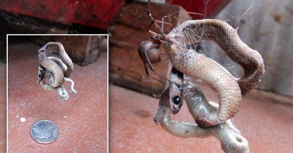 Η σοκαριστική στιγμή που μια αράχνη παγιδεύει και τρώει ένα θανατηφόρο φίδι