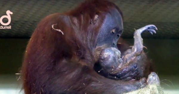 Βιντεοσκοπήθηκε για 1η Φορά η γέννηση ενός ουρακοτάγκου… Προσέξτε τι κάνει η μαμά, μόλις τον βλέπει!