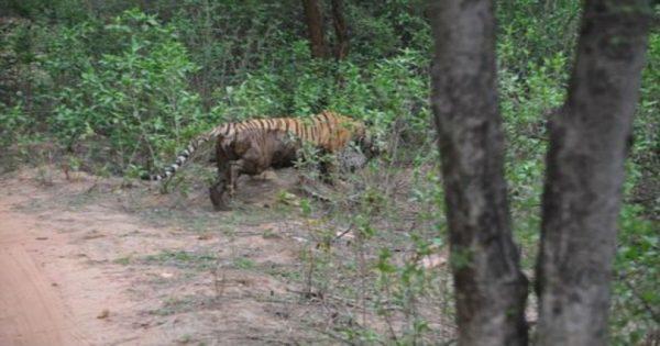 Η σκληρή μάχη μεταξύ τίγρης και λεοπάρδαλης – Ποιος βγήκε νικητής;