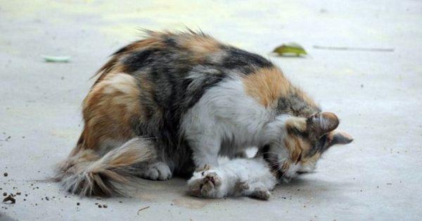 Συντετριμμένη γάτα προσπαθεί να ζωντανέψει τα γατάκια της που μαχαιρώθηκαν από άγνωστο