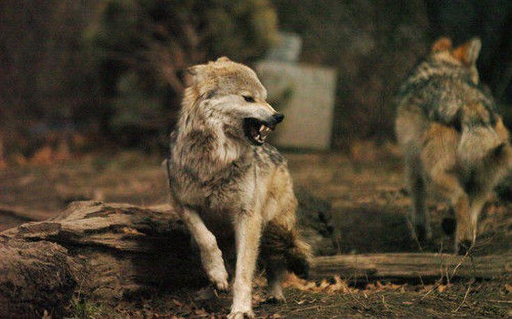 σκύλοι λύκοι