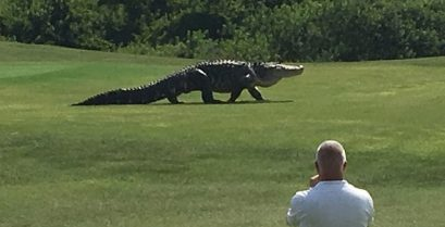 Τεράστιος αλιγάτορας εμφανίζεται σε γήπεδο γκολφ