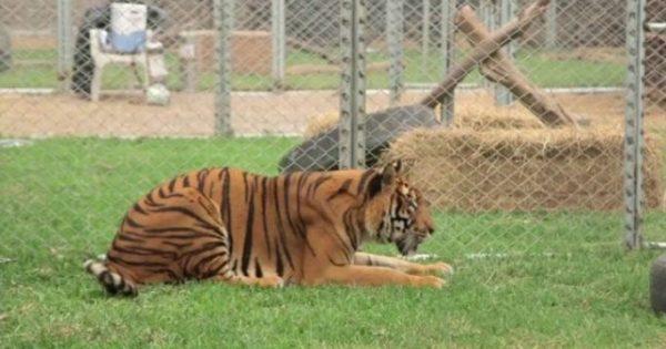 Αυτή η τίγρης έζησε την μισή της ζωή μέσα σε κλουβί – Παρακολουθήστε τη στιγμή που απελευθερώνεται!