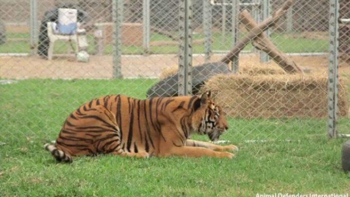 Τίγρης Απελευθέρωση