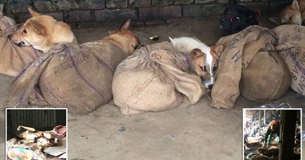 Ανείπωτη Φρίκη: Δένουν σκυλιά σε παράνομο παζάρι κρέατος στην Ινδία και τα χτυπάνε μέχρι θανάτου